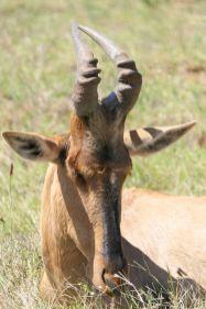 Südafrika South Africa Garden Route Ostkap Addo Elephant Nationalpark Safari Tiere Antilope Kuhantilope Haartebeest