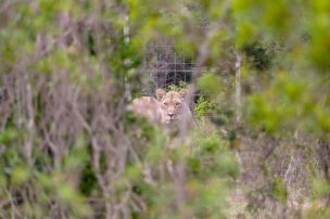 Südafrika South Africa Garden Route Ostkap Sibuya Game Reserve Wildreservat Game Drive Safari Löwe
