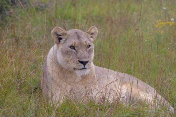 Südafrika South Africa Garden Route Ostkap Sibuya Game Reserve Wildreservat Game Drive Safari Löwin