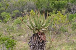 Südafrika South Africa Garden Route Ostkap Sibuya Game Reserve Wildreservat Game Drive Safari Agave