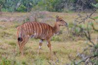 Südafrika South Africa Garden Route Ostkap Sibuya Game Reserve Wildreservat Game Drive Safari Antilope Nyala