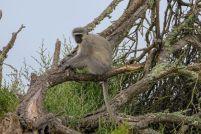 Südafrika South Africa Garden Route Ostkap Sibuya Game Reserve Wildreservat Game Drive Safari Affe Grünmeerkatze