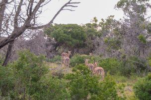 Südafrika South Africa Garden Route Ostkap Sibuya Game Reserve Wildreservat Safari Game Drive Antilope Impala