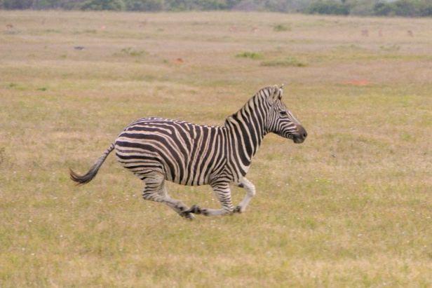 Südafrika South Africa Garden Route Ostkap Sibuya Game Reserve Wildreservat Safari Game Drive Zebra Galopp