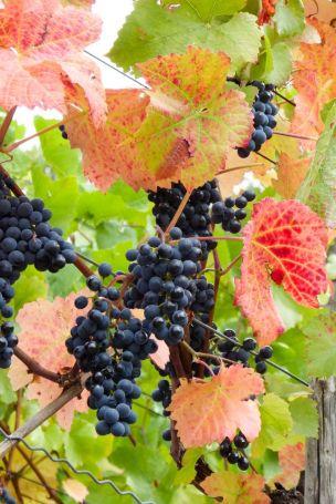 Deutschland Ahr Rotweinwanderweg Ahrweiler Weinreben Herbst