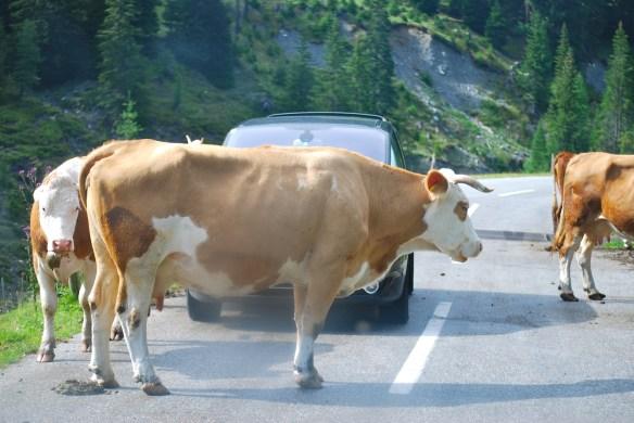 Die Kuh als Datenlieferant
