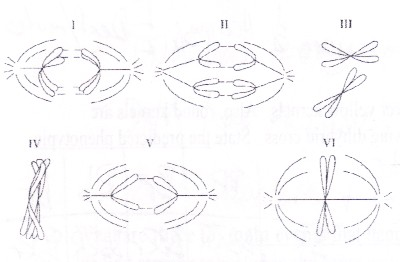 Drawing Meiosis Metaphase 1 Sketch Coloring Page