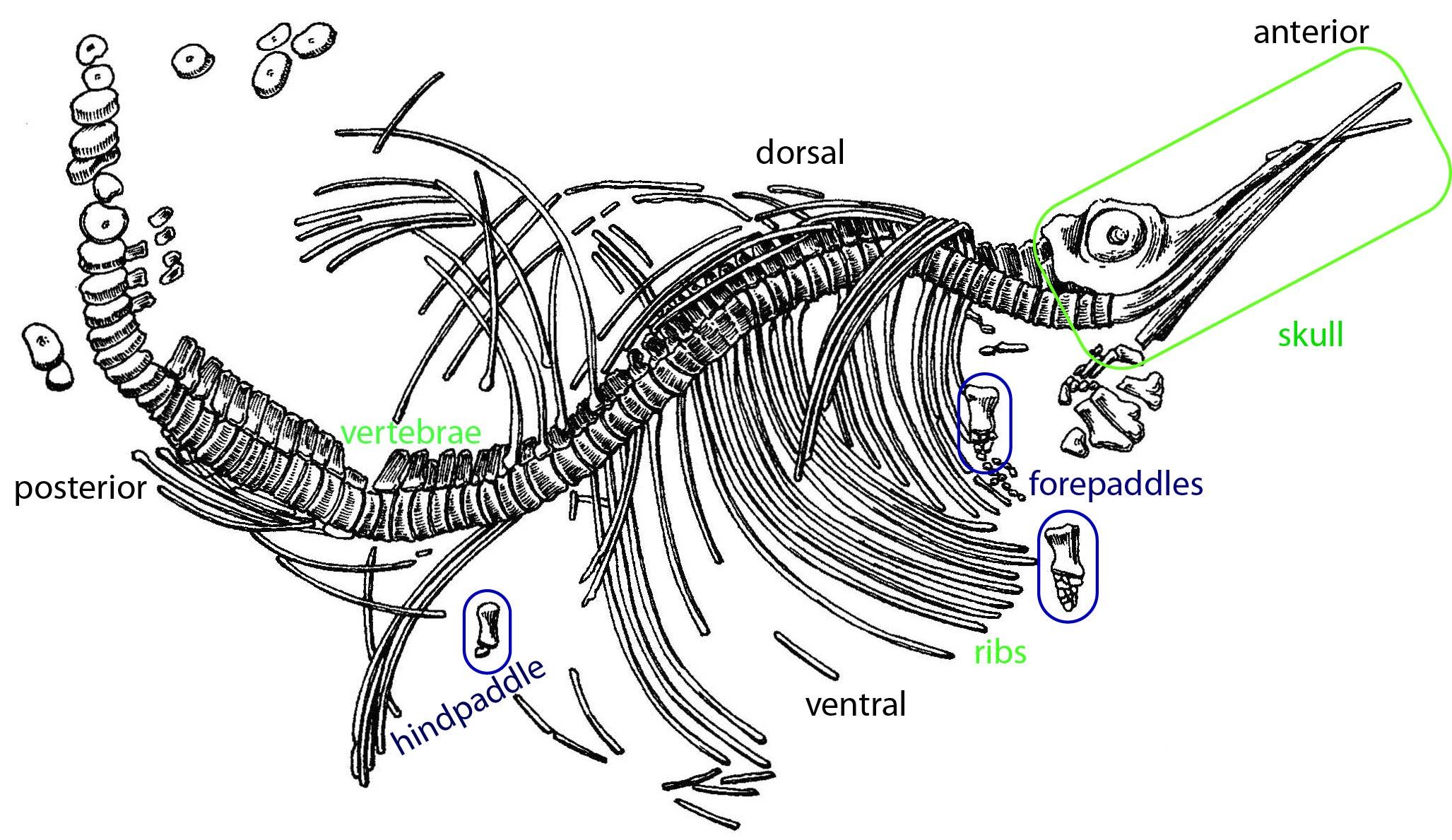 My Phd Plans Part 1 A New Ichthyosaur