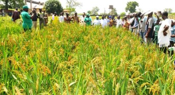 Oxfam, EU Support Rice Farmers In Kebbi, Adamawa