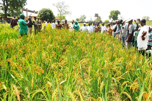 Oxfam, EU Support 2,125 Rice Farmers in Kebbi,Adamawa