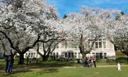 UW et les cerisiers du Japon