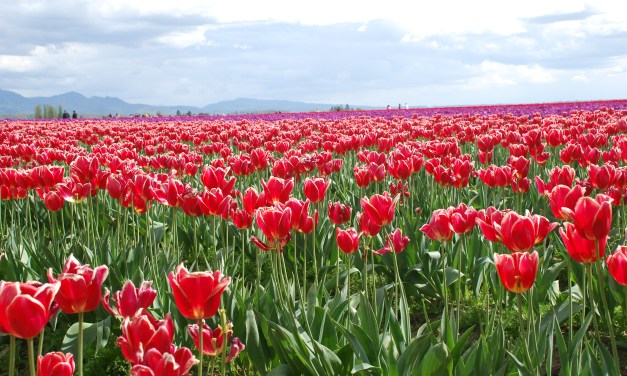 Festival de tulipes dans la vallée de Skagit