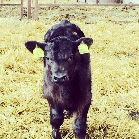 bull-calf-cairnton-aberdeen