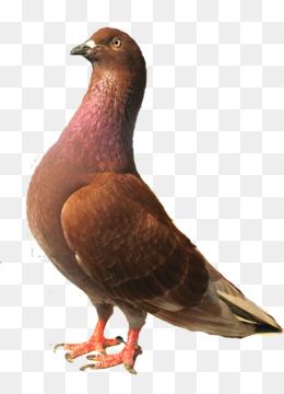 Burung Dara Png : burung, Burung, Merpati, Transparent, Clipart, Download., CleanPNG, KissPNG