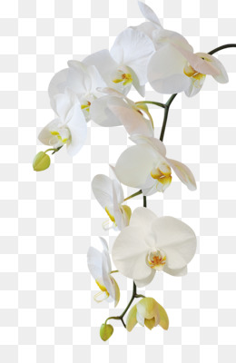 Moth Orchids PNG and PSD Free Download  Moth orchids