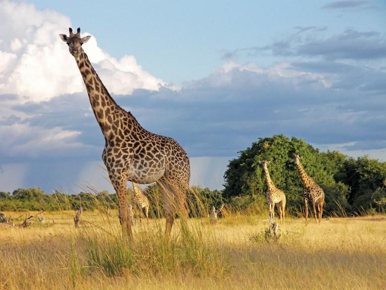 Zambia Giraffes Abercrombie & Kent Safari Tours