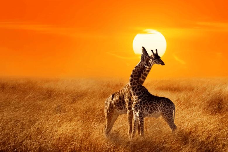 Two Giraffes at Sunset in Serengeti National Park