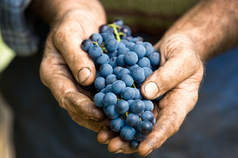 organic grapes for Dry Farm wines