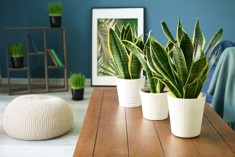 snake plant best for air quality