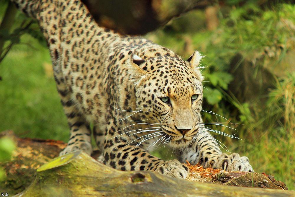 Persian Jaguar