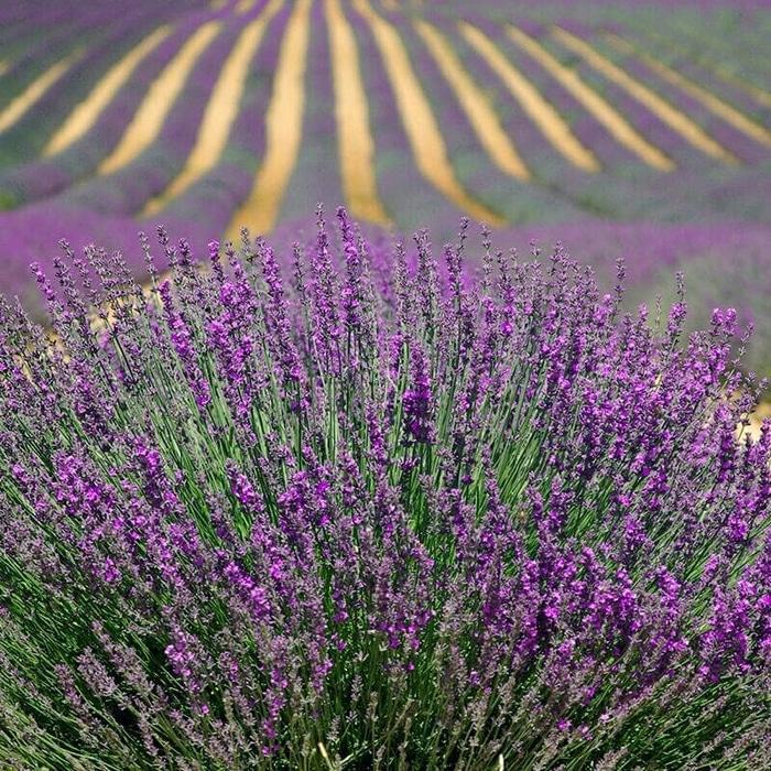 isi 10 Benih Biji Bibit Bunga French Lavender Import Asia