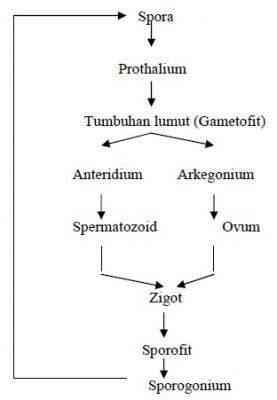 Skema Metagenesis Tumbuhan Lumut : skema, metagenesis, tumbuhan, lumut, Skema, Siklus, Hidup, Tumbuhan, Lumut, Brainly.co.id
