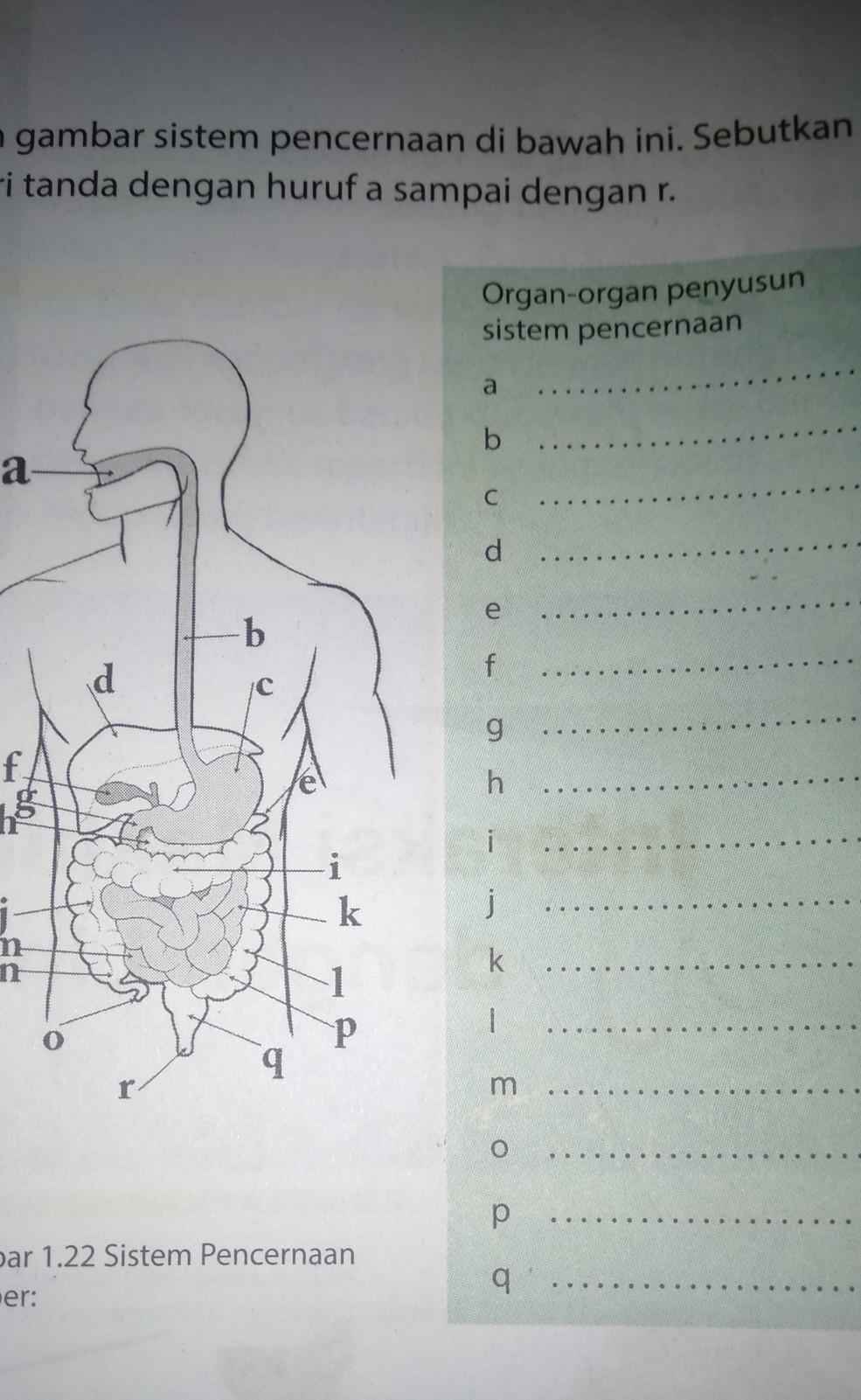 Sebutkan Organ-organ : sebutkan, organ-organ, Tolong, Sebutkan, Organ, Sistem, Pencernaan, Brainly.co.id