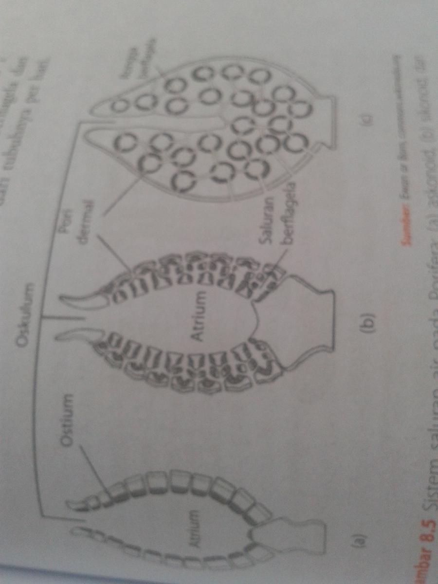 Saluran Air Pada Porifera : saluran, porifera, Saluran, Porifera, Dengan, Gambarnya, Brainly.co.id