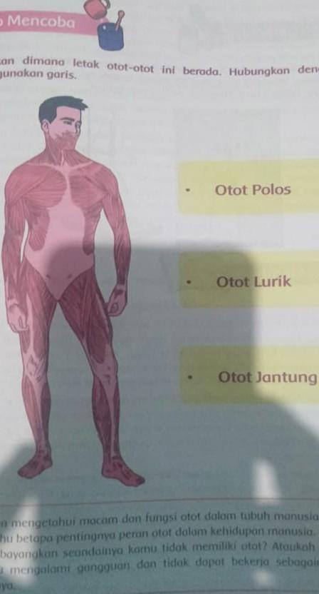 Letak Otot Jantung : letak, jantung, Jantung, Lurik, Dijelaskan, Brainly.co.id