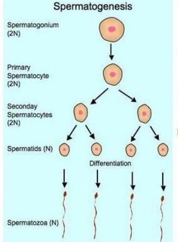Proses Pembentukan Sel Telur (oogenesis) : proses, pembentukan, telur, (oogenesis), Gambarkan, Proses, Pembentukan, Gamet, Spermatogenesis!, Brainly.co.id