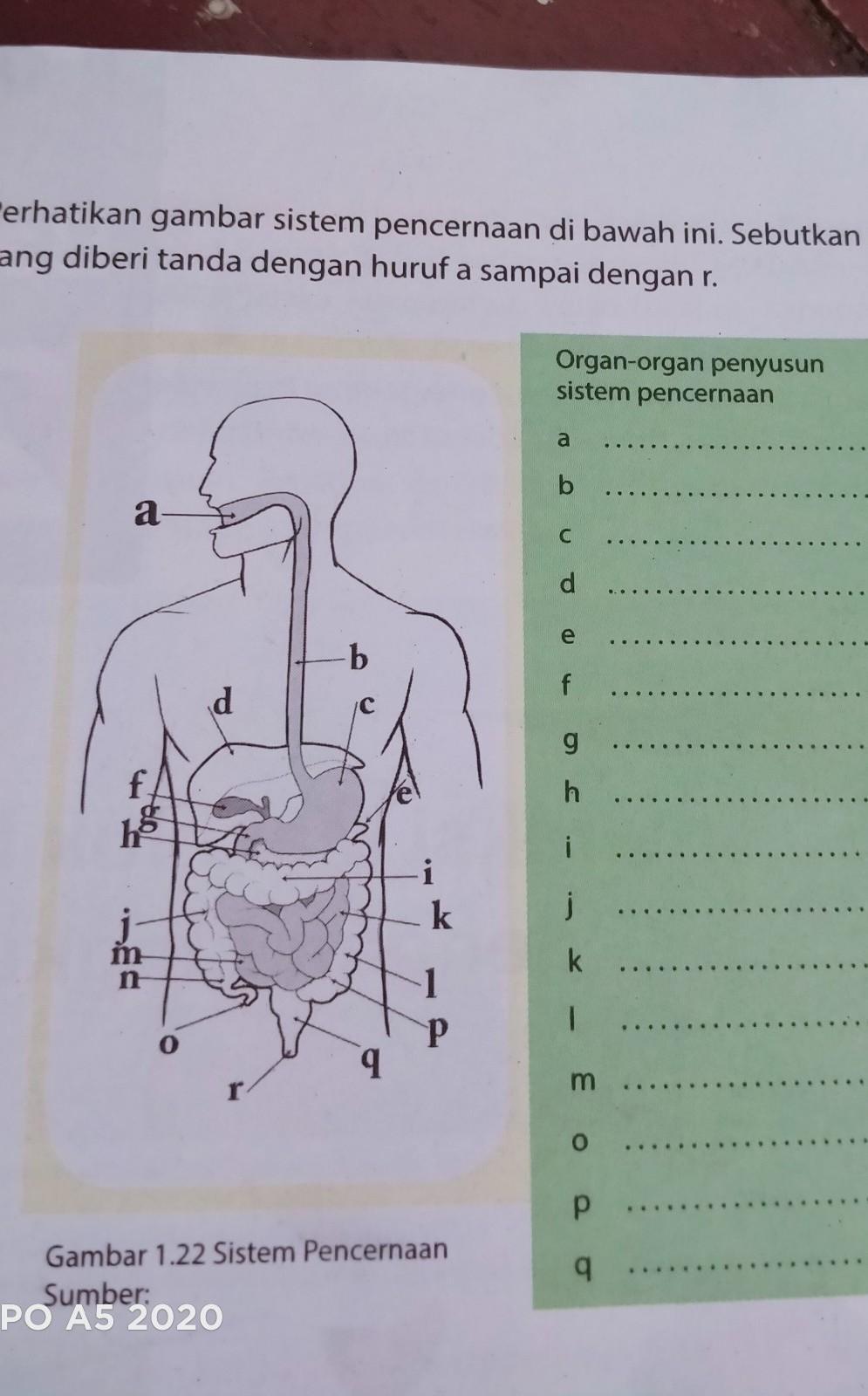 Sebutkan Organ-organ : sebutkan, organ-organ, Sebutkan, Organ, Penyusun, Sistem, Pencernaan, Brainly.co.id