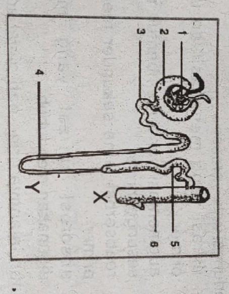 Kapsula Bowman Adalah : kapsula, bowman, adalah, Perhatikan, Gambar, Badan, Malpighi., Bagianyang, Ditunjuk, Adalah, Nefron, Brainly.co.id
