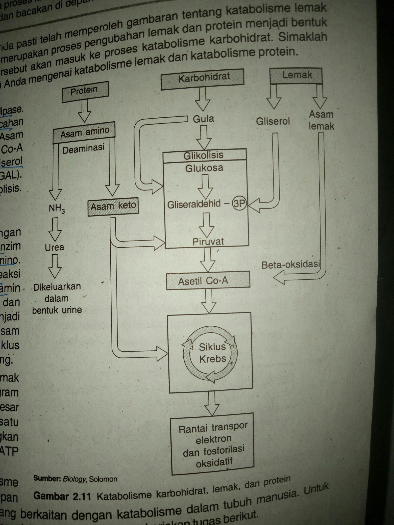 Keterkaitan Metabolisme Karbohidrat Lemak Dan Protein : keterkaitan, metabolisme, karbohidrat, lemak, protein, Jelaskan, Keterkaitan, Metabolisme, Karbohidrat,, Lemak, Protein, Secara, Singkat, Jelas, Brainly.co.id