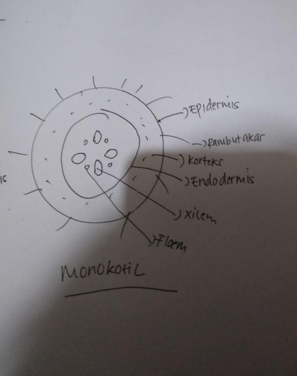 Xilem Dan Floem Pada Batang Monokotil : xilem, floem, batang, monokotil, Gambar, Xilem, Floem, Batang, Dikotil, Monokotil, Sugriwa
