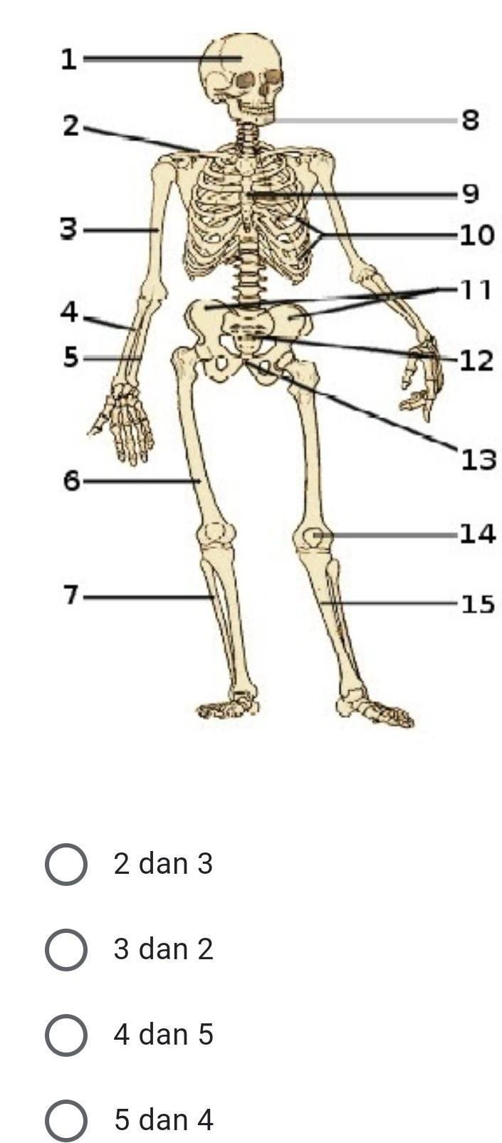 Tulang Hasta Dan Pengumpil : tulang, hasta, pengumpil, Tulang, Hasta, Pengumpil, Ditunjukkan, Nomor, Brainly.co.id