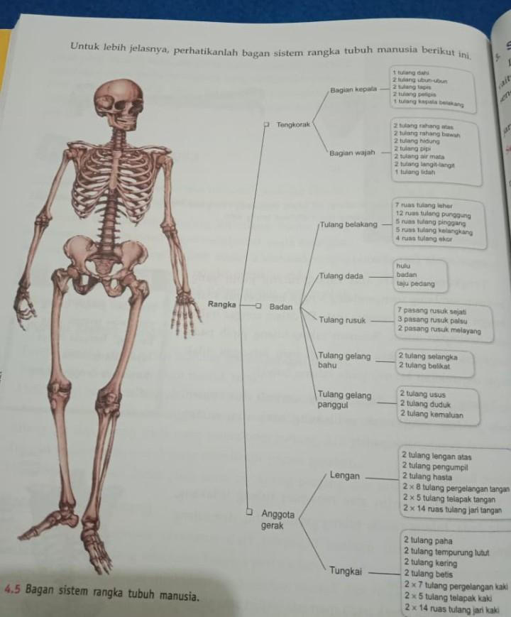 Tulang Tempurung : tulang, tempurung, Jelaskan, Bagian-bagian, Sistem, Gerak, Manusia, Brainly.co.id