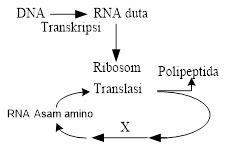 Diagram langkah sintesis protein. Tahapan X pada diagram sintesis ...