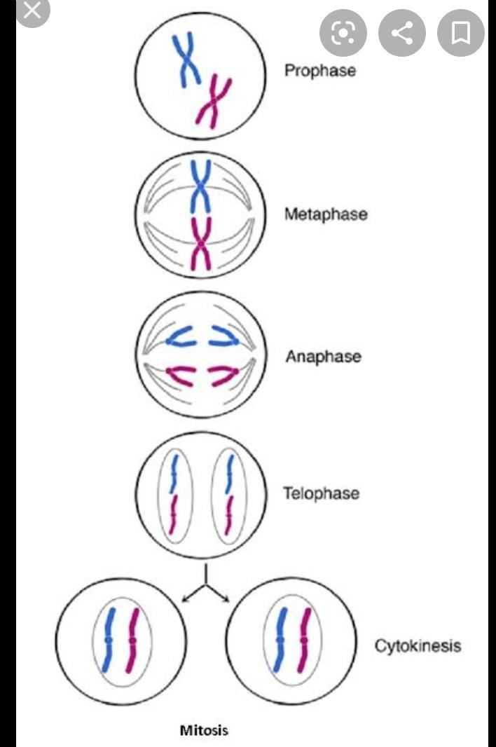 Tahap Tahap Pembelahan Mitosis : tahap, pembelahan, mitosis, Pembelahan, Mitosis, Merupakan, Proses, Berkesinambungan, Terdiri, Empat, Brainly.co.id