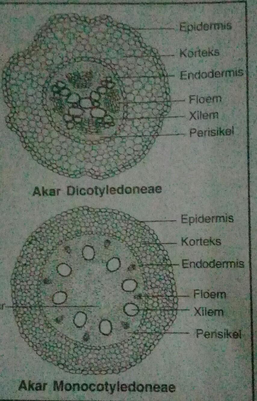 Batang Monokotil Dikotil : batang, monokotil, dikotil, Struktur, Anatomi, Dikotil, Monokotil, Serta, Bagian-bagiannya, Brainly.co.id
