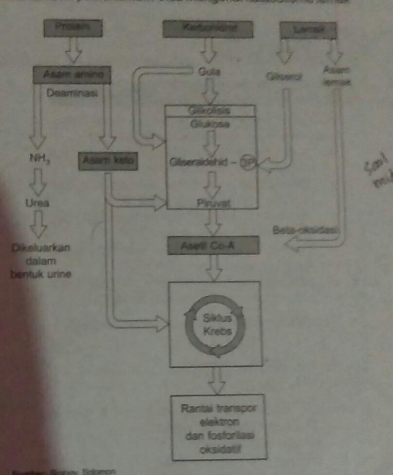 Proses Katabolisme Karbohidrat : proses, katabolisme, karbohidrat, A.bagaimana, Proses, Katabolisme, Karbohidratb.bagaimana, Lemakc.bagaimana, Brainly.co.id