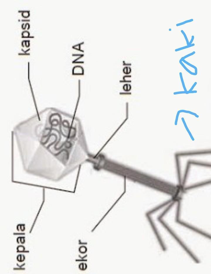 Selubung Virus Tersusun Atas : selubung, virus, tersusun, Secara, Struktural,, Tubuh, Virus, Disusun, Atas...., Brainly.co.id