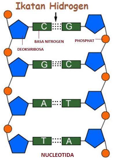 Basa Nitrogen Rna : nitrogen, Salah, Penyusun, Molekul, Adalah, Pasangan, Nitrogen, Brainly.co.id