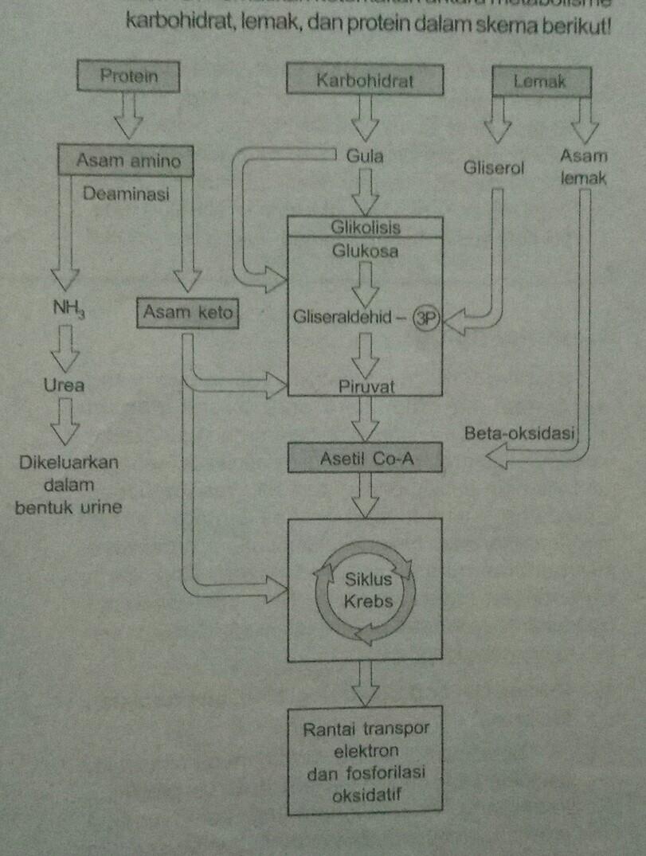 Keterkaitan Metabolisme Karbohidrat Lemak Dan Protein : keterkaitan, metabolisme, karbohidrat, lemak, protein, Jelaskan, Hubungan, Antara, Metabolisme, Karbohidrat,protein,dan, Lemak, (baik, Reaksi, Katabolisme, Maupun, Brainly.co.id