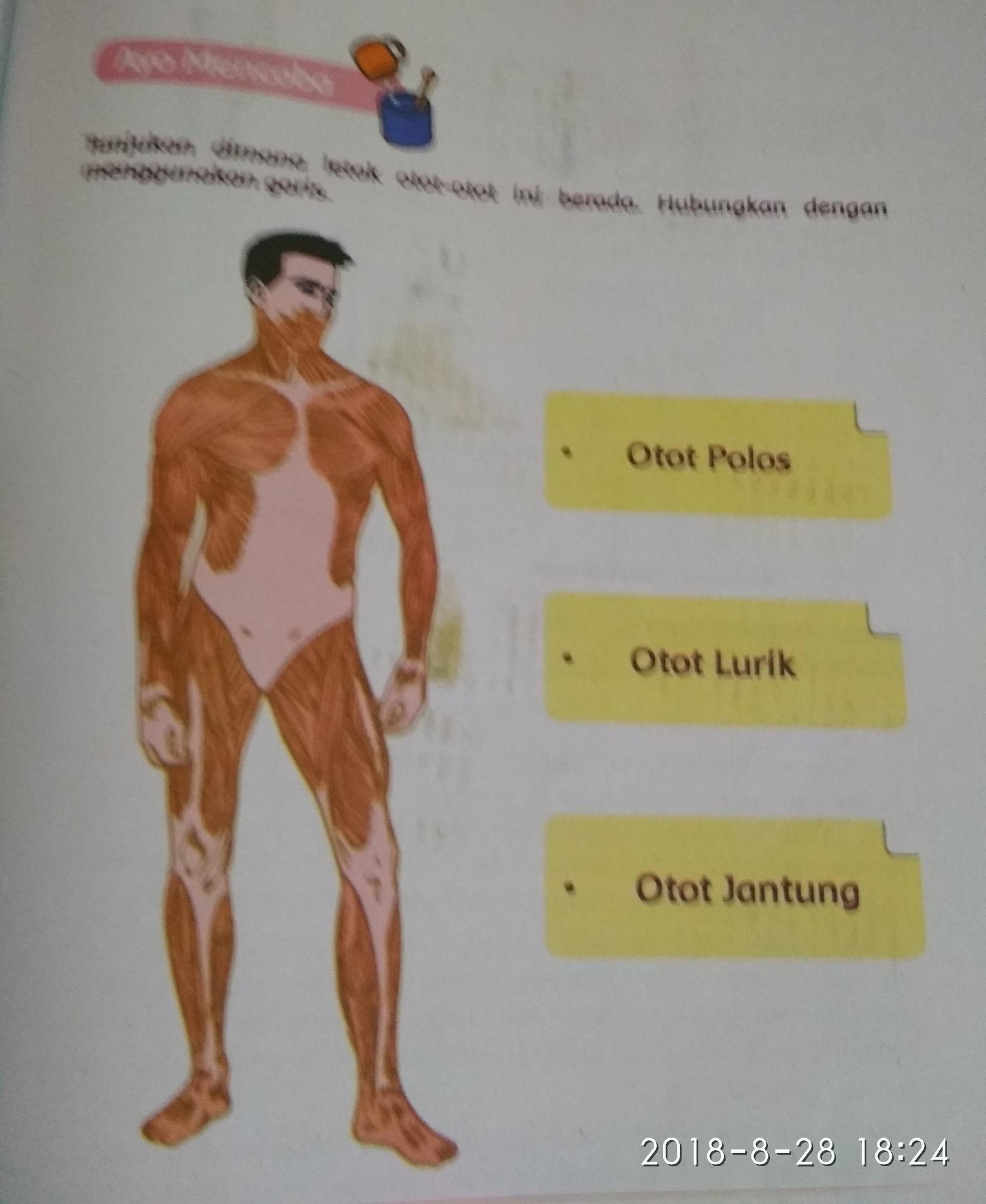 Letak Otot Jantung : letak, jantung, Tunjukan, Dimana, Letak, Polos, Lurik, Jantung, Brainly.co.id