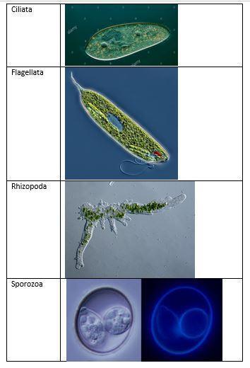 Alat Untuk Bergerak Dan Menangkap Makanan Pada Amoeba Disebut : untuk, bergerak, menangkap, makanan, amoeba, disebut, Untuk, Bergerak, Menangkap, Makanan, Amoeba, Disebut, Sebutkan