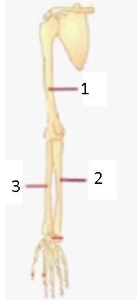 Tulang Hasta Dan Pengumpil : tulang, hasta, pengumpil, Tulang, Pengumpil, Ditunjukkan, Nomor?, Brainly.co.id