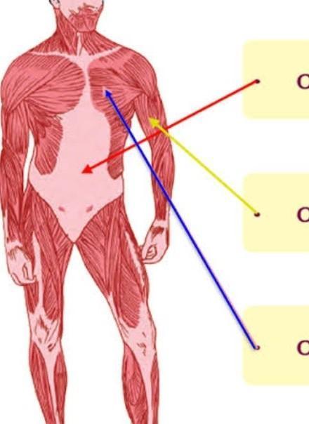 Letak Otot Jantung : letak, jantung, TUNJUKAN, DIMANA, LETAK, OTOT-OTOT, BERADA., HUBUNGKAN, DENGAN, GARIS, Brainly.co.id