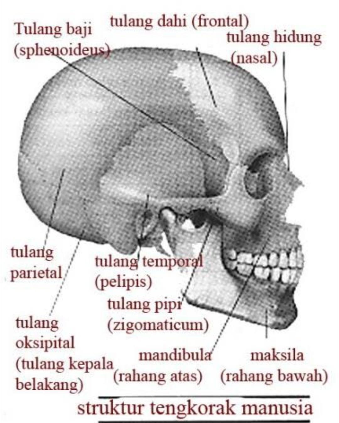 Gambar Tulang Baji : gambar, tulang, Tulang, Tengkorak, Brainly.co.id