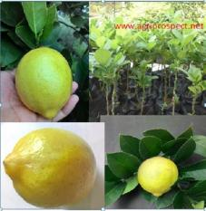 Bibit Jeruk Lemon Kuning per paket 20 bibit