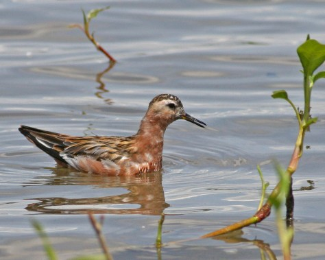 Red Phalarope at Mann Lake